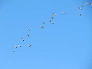 Pelicans Above White Slough, Vallejo